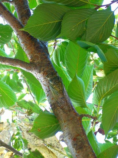 桜の木にも居る