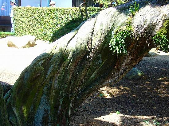 万寿はくの樹