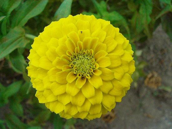黄色百日草