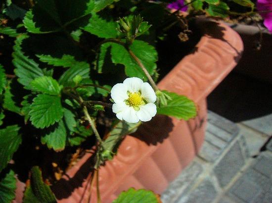 いちごの花