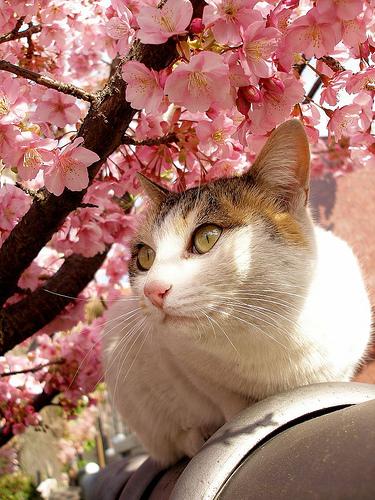 ねこ 桜2