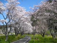 桜並木の中、ちびっこはお絵かき中
