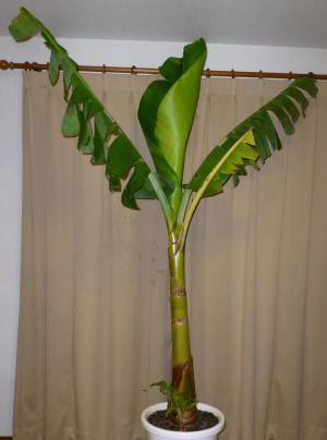 バナナ130202