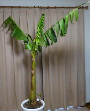 バナナ130310