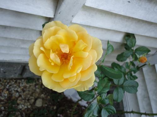 amber-queen-saita.jpg