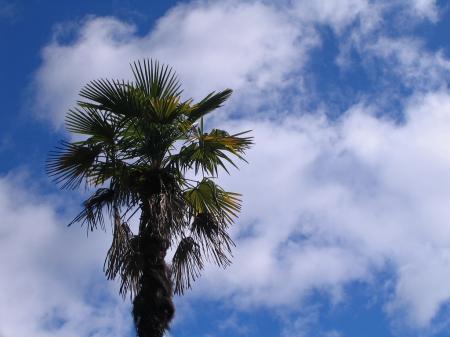 5002椰子の木