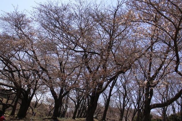 桜・・・4分かなぁ?