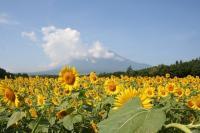 向日葵畑でやんす