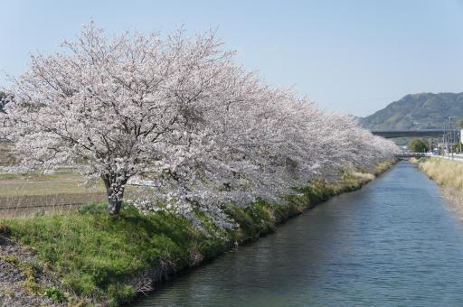 葉梨川の土手の桜
