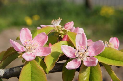 カリンの花2