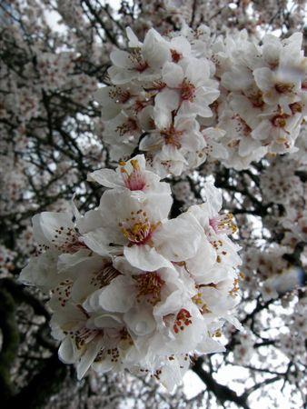 Mar-21-2011 桜①