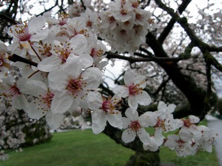 Mar-21-2011 桜②