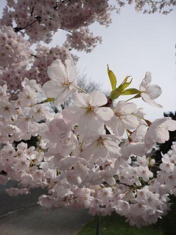 Apr-12-2011 桜