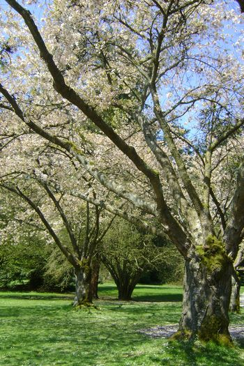 Apr-23-2011 葉桜