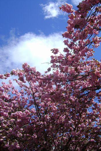 May-04-2011 桜