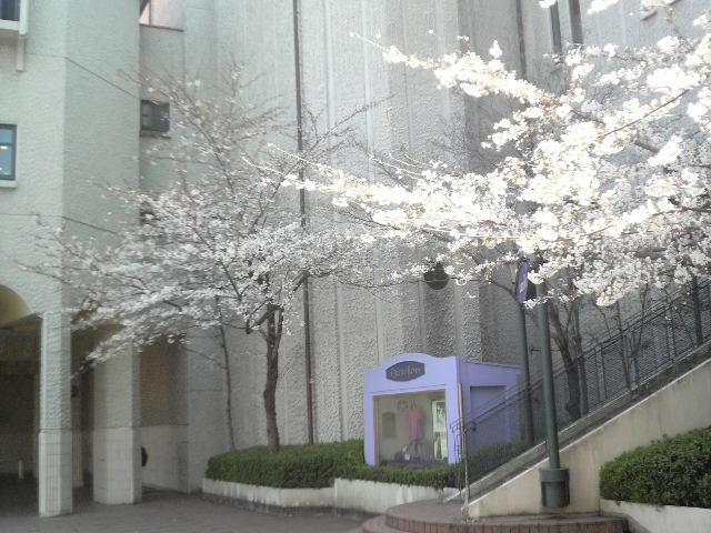 sakura20100330