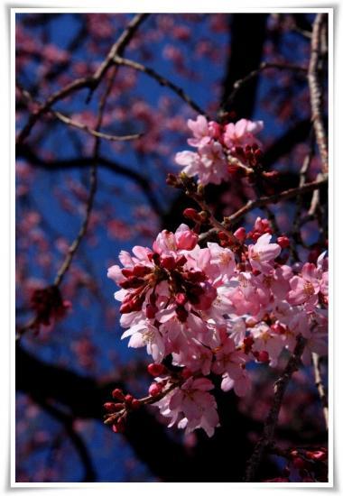 白泉寺のしだれ桜
