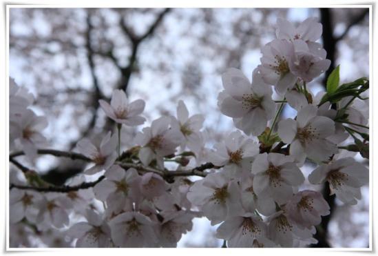 弘法山2011桜