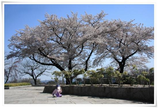 秦野戸川公園2011桜