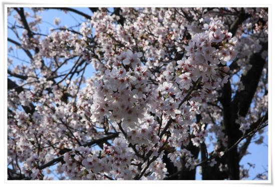 水無川2011桜