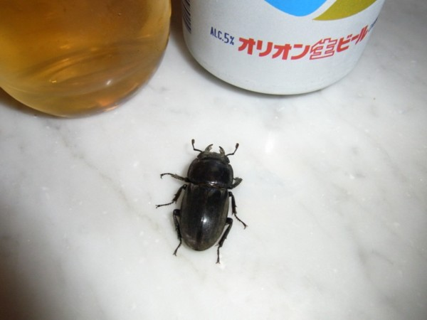 サキシマ♀