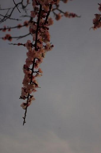 あんずの花2