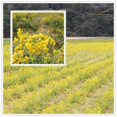 菜の花まつり 2012