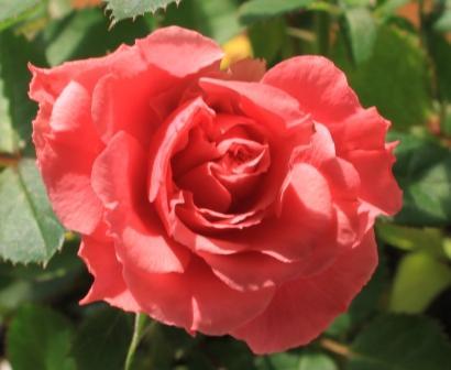 薔薇ですよね