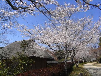桜201103