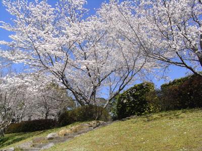 桜201108