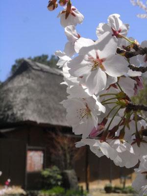 桜201104