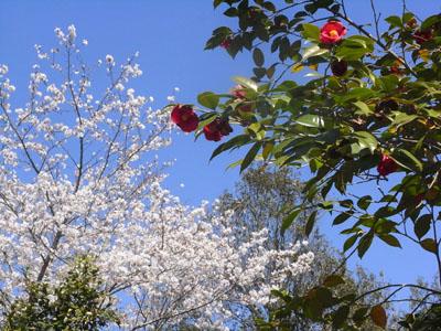 桜201105