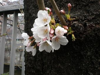 目黒川の桜 20110402