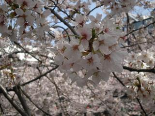 20100410-桜3