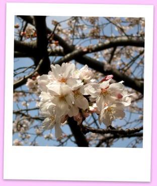 20100410-桜