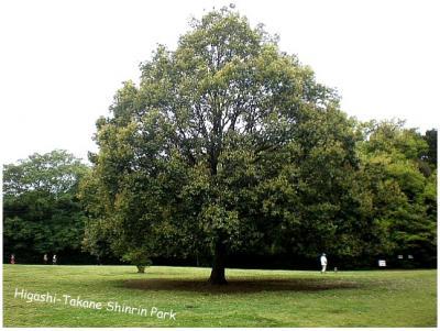 芝生公園の大きな木