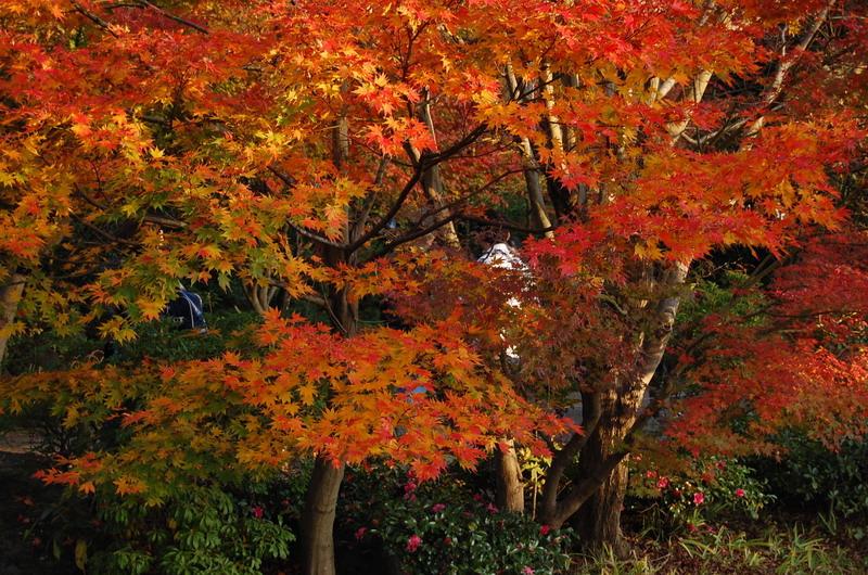日本庭園もみじ2