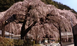 柏崎しだれ桜 ③