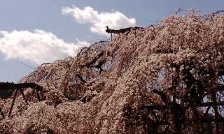 柏崎しだれ桜