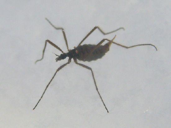 クモガタガガンボ