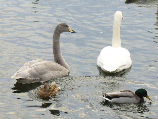 白鳥の親鳥と幼鳥