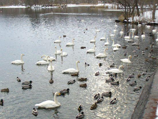 大沼公園の渡り鳥たち