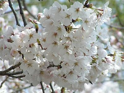 2011桜02
