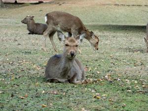 奈良で鹿ににらまれる