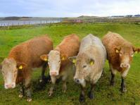 cowsstleadagh