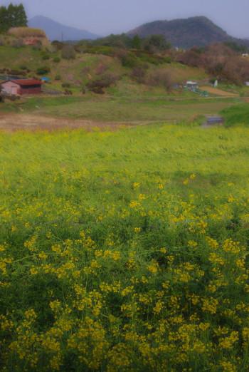菜の花畝傍山