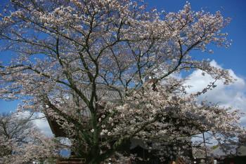 桜 橘寺5