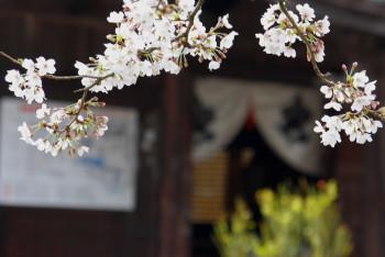 桜 橘寺7