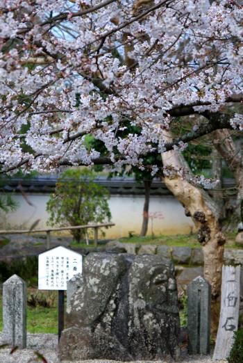 二面石と桜0