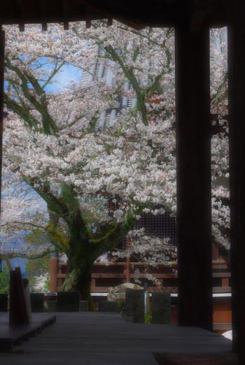 桜 橘寺6